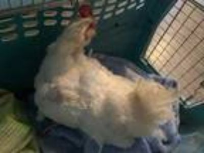 Adopt 42152958 a White Chicken / Chicken / Mixed bird in Carrollton