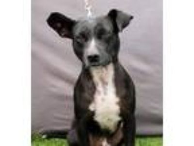 Adopt Ozzie a Black Pit Bull Terrier / Mixed dog in Inglewood, CA (13908230)