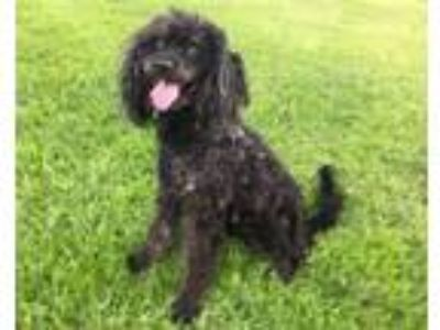 Adopt Ron a Poodle