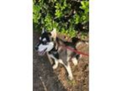 Adopt Sage a Siberian Husky, Mixed Breed