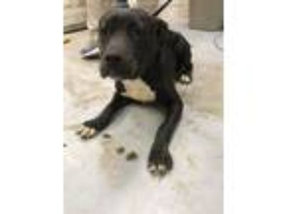 Adopt A319906 a Staffordshire Bull Terrier, Mixed Breed