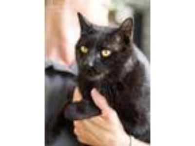 Adopt Barker a Domestic Short Hair