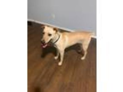 Adopt Kia a Tan/Yellow/Fawn Labrador Retriever / Mixed dog in Portland