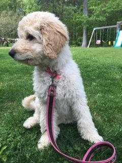 Goldendoodle PUPPY FOR SALE ADN-103386 - Beautiful Goldendoodles  Non shedding F1B