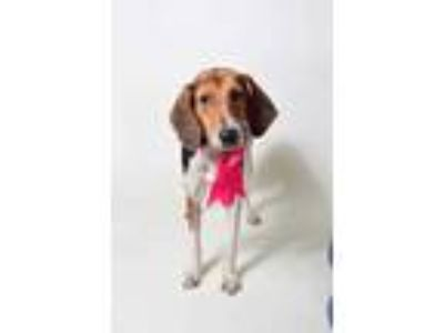 Adopt 19-170D Rain a Tan/Yellow/Fawn Hound (Unknown Type) / Mixed dog in