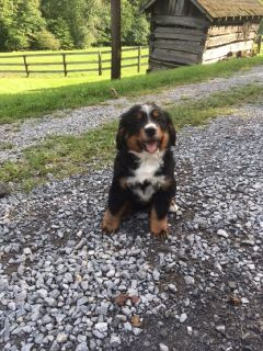 9 Week Old Male Bernese Mountain Dog Puppy!