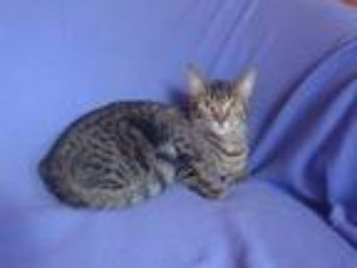 Adopt Scarlet a Bengal, Domestic Short Hair