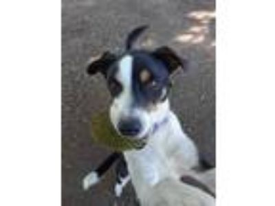 Adopt Bentley a Black - with White Border Collie / Rat Terrier dog in Ponca