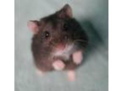 Adopt Beans a Hamster