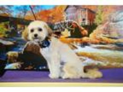 Adopt Valentino a White Lhasa Apso / Poodle (Miniature) / Mixed dog in