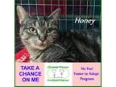 Adopt Honey a Gray or Blue Domestic Shorthair / Mixed (short coat) cat in
