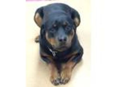 Adopt Remy a Black - with Tan, Yellow or Fawn Rottweiler / Mixed dog in Norwalk
