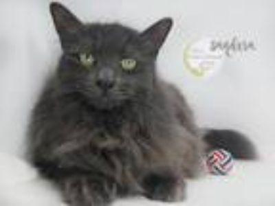 Adopt Baby Sandera a Gray or Blue Domestic Longhair / Mixed (long coat) cat in