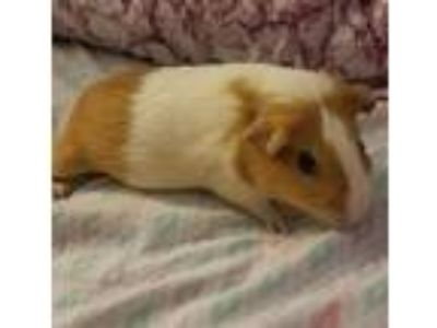 Adopt Willa a Guinea Pig small animal in Madison, NJ (25877781)