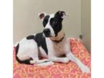 Adopt Molly a Black American Pit Bull Terrier / Mixed dog in Menands