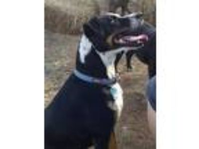 Adopt FINNEGAN a Black - with White Pointer / Mixed dog in Cordes Lakes
