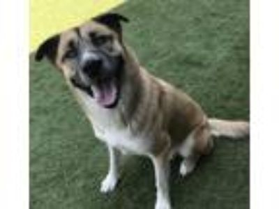 Adopt Filo a Tricolor (Tan/Brown & Black & White) Anatolian Shepherd / Mixed dog