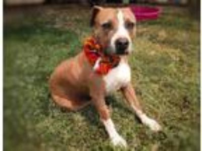Adopt Honey - Courtesy Post a Tan/Yellow/Fawn - with White American Pit Bull