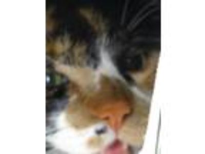 Adopt Gi Gi (Giselle) a Calico or Dilute Calico Domestic Shorthair / Mixed cat