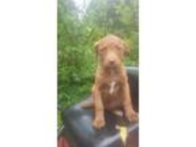 Adopt Puppy 2 a Pit Bull Terrier