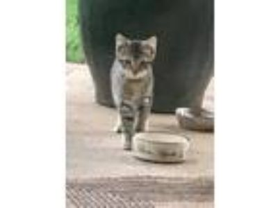 Adopt Riker a Tiger Striped Domestic Shorthair cat in Rogers, AR (25845972)