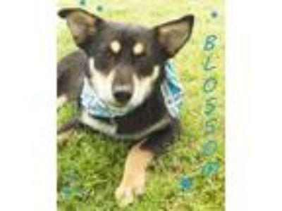 Adopt Blossom a Black - with Tan, Yellow or Fawn Shepherd (Unknown Type) / Mixed