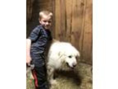 Adopt Ted a Great Pyrenees