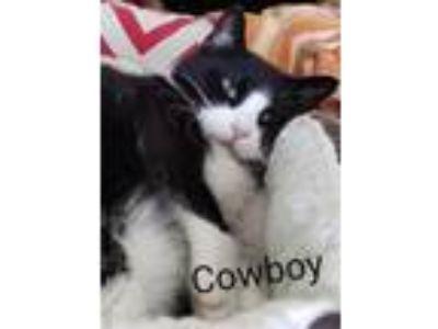 Adopt Cowboy a Domestic Short Hair
