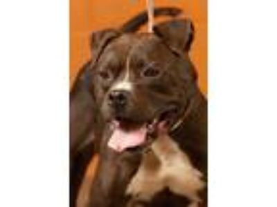 Adopt Thunder a Pit Bull Terrier / Mixed dog in Johnson City, TN (23363650)