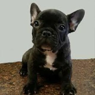 French bulldogs puppies ready