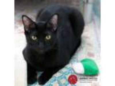 Adopt Windsor a All Black Domestic Shorthair (short coat) cat in St Louis