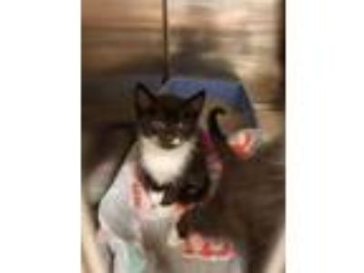 Adopt a Black & White or Tuxedo American Shorthair / Mixed (short coat) cat in