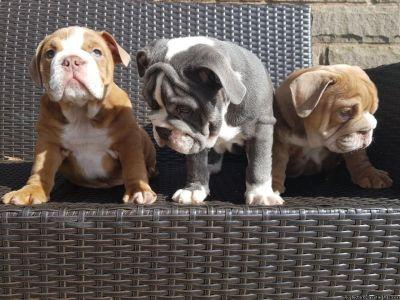 Pedigree Bulldog Puppies
