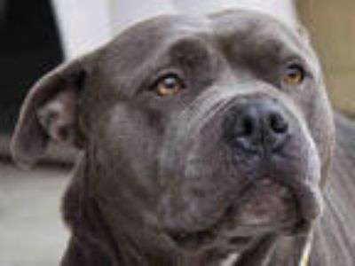 Adopt PENNY a Gray/Blue/Silver/Salt & Pepper American Pit Bull Terrier / Mixed