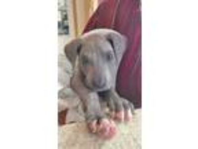 Adopt Shadow a Gray/Blue/Silver/Salt & Pepper Great Dane / Mixed dog in