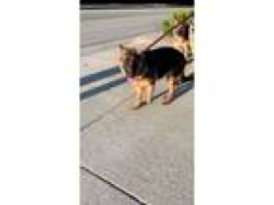 Adopt Venus a German Shepherd Dog