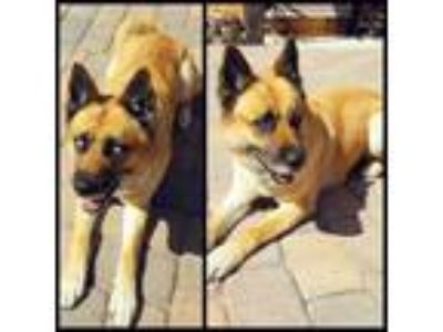 Adopt Ace and Akina a Tan/Yellow/Fawn - with White German Shepherd Dog / Husky /
