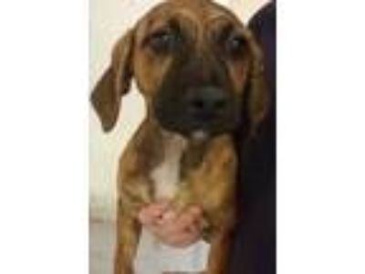 Adopt Cinnamon a Red/Golden/Orange/Chestnut Vizsla / Mixed dog in Brownwood
