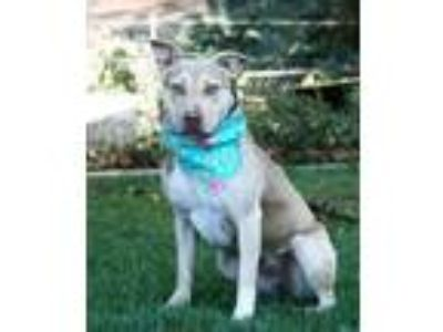 Adopt ABBY a Pit Bull Terrier