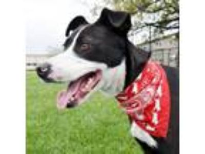 Adopt Ripley a Border Collie