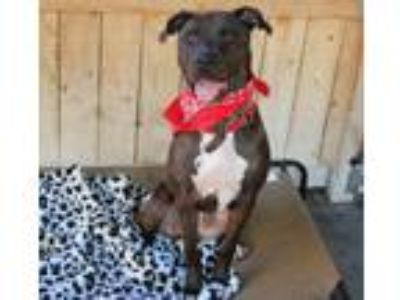 Adopt Handsome Dirky-VIDEO a Mastiff, American Staffordshire Terrier