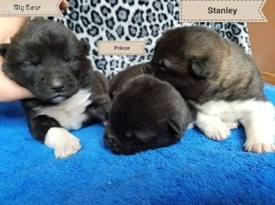 AKC Akita puppies  for sale!