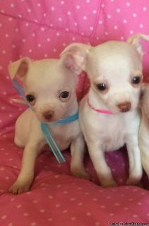 Good looking Chihuahua puppies available Now!