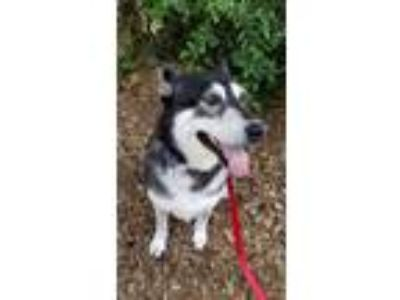 Adopt Blazer a Black Husky / Mixed dog in Corvallis, OR (25620510)
