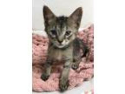 Adopt Biscotti a Domestic Short Hair