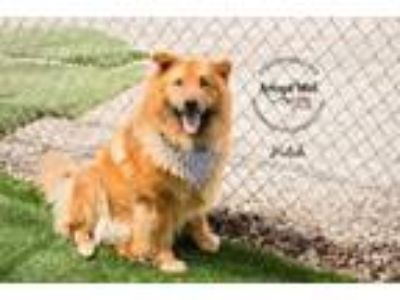 Adopt Hutch a Chow Chow, Mixed Breed