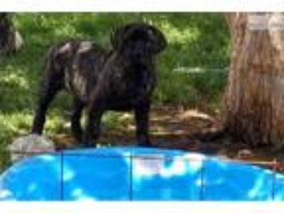 Dark English Mastiff Female