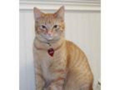Adopt Freida a Orange or Red Tabby American Shorthair (short coat) cat in