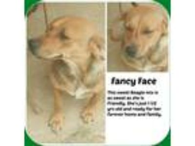 Adopt FANCY FACE a Tan/Yellow/Fawn - with White Beagle / Mixed dog in Malvern