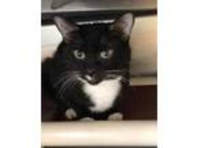 Adopt Penguin a All Black Domestic Shorthair / Domestic Shorthair / Mixed cat in